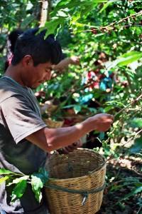 homme cueillette café